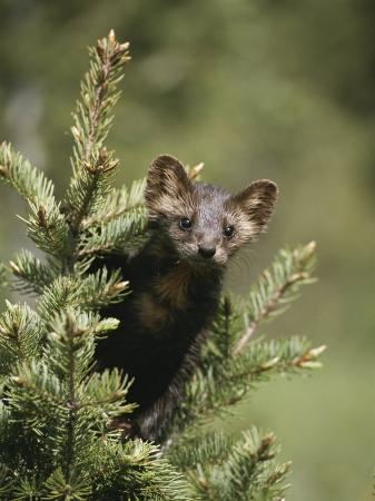 tom-murphy-a-pine-marten-martes-martes-watches-from-the-top-of-a-tree