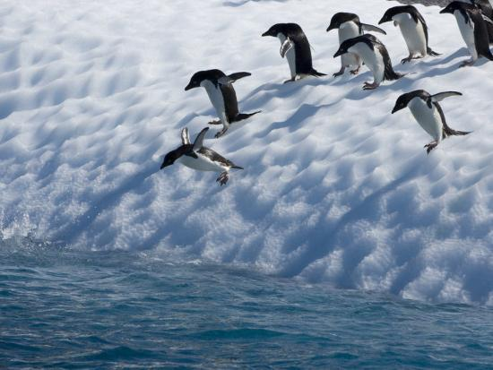 tom-murphy-adelie-penguins-lined-up-to-jump-from-an-iceberg-into-chilly-waters