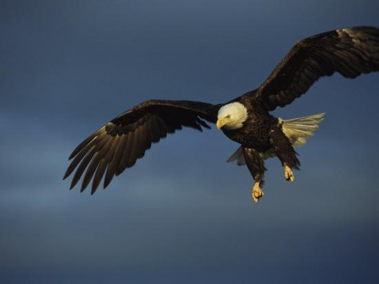 tom-murphy-american-bald-eagle-in-flight