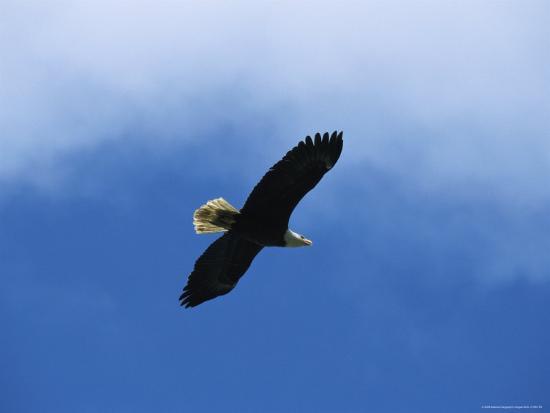 tom-murphy-american-bald-eagle-in-flight