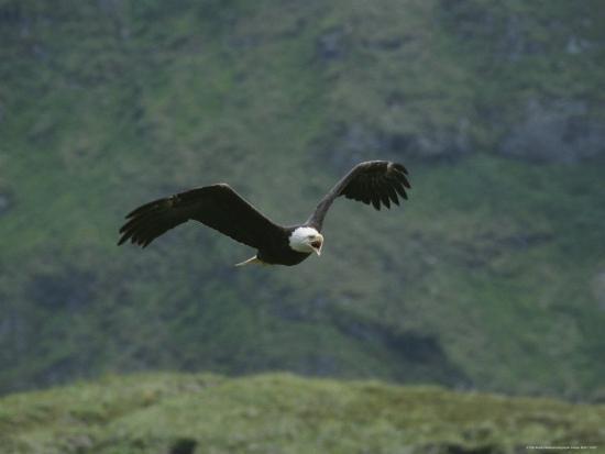 tom-murphy-an-american-bald-eagle-in-flight