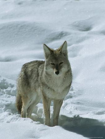 tom-murphy-coyote-stands-in-the-snow