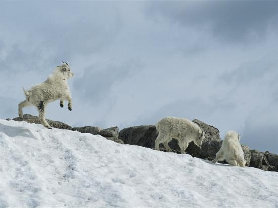 tom-murphy-rocky-mountain-goat-kids-oreamnos-americanus-frolic-in-the-snow
