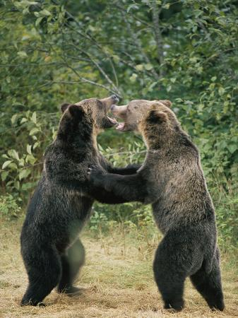 tom-murphy-two-grizzly-bears-have-a-playful-fight