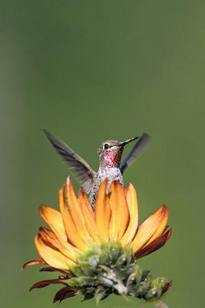 tom-norring-anna-s-hummingbird-santa-cruz-california-usa
