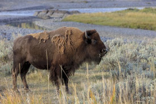 tom-norring-bison-at-yellowstone-river-yellowstone-national-park-wyoming-usa