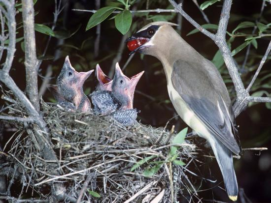 tom-ulrich-a-cedar-waxwing-feeding-a-berry-to-its-nestlings