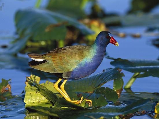 tom-vezo-minden-pictures-purple-gallinule-porphyrio-martinicus-standing-on-lily-pads-everglades-nat-l-park-florida