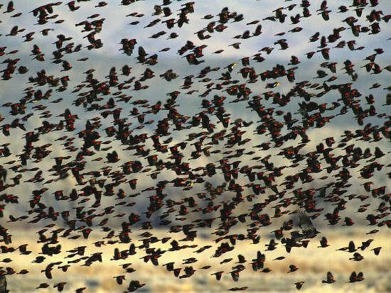 tom-vezo-minden-pictures-red-winged-blackbird-agelaius-phoeniceus-bosque-del-apache-nat-l-wildlife-refuge-new-mexico