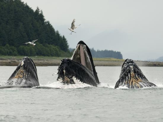 tom-walker-humpback-whale-bubblenet-feeding