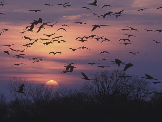 tom-walker-sandhill-cranes-flying-to-roost-grus-canadensis-platte-river-nebraska-usa