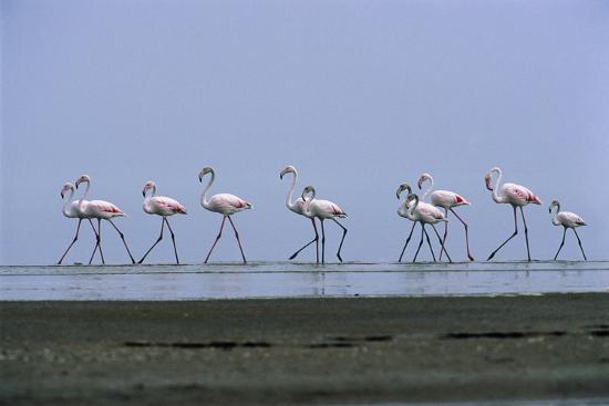 tony-camacho-greater-flamingos-wading