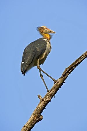 tony-camacho-lesser-adjutant-stork