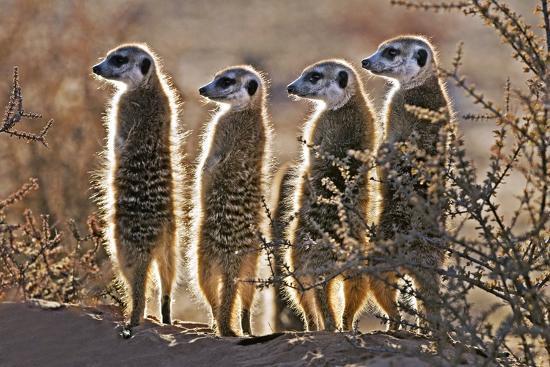 tony-camacho-meerkats