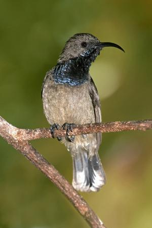 tony-camacho-seychelles-sunbird