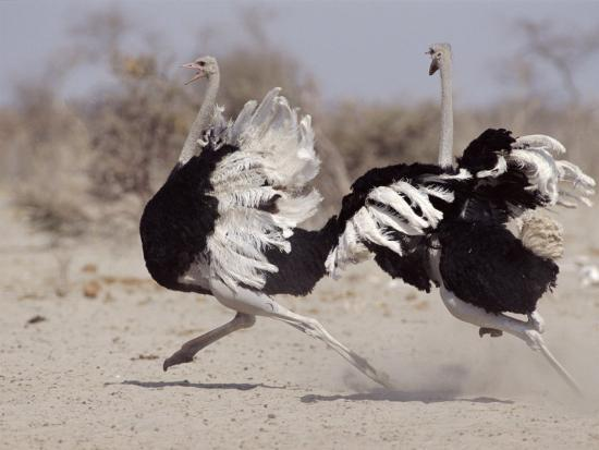 tony-heald-two-male-ostriches-running-during-dispute-etosha-national-park-namibia
