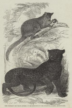 tree-kangaroo-and-black-leopard-in-the-menagerie-of-the-zoological-society-regent-s-park