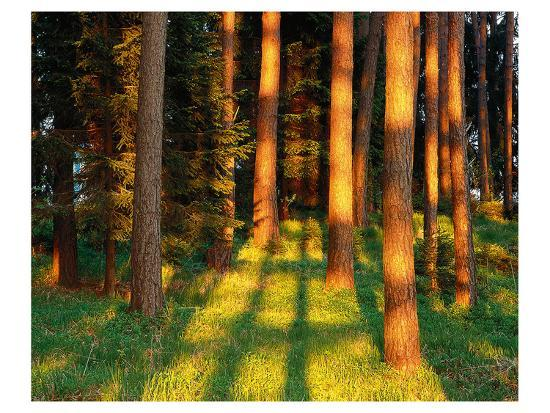trees-stems-during-sunset