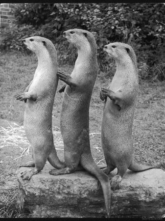 trio-of-otters