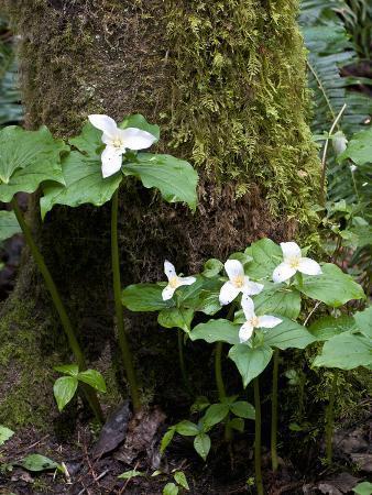 trish-drury-western-trillium-grand-forest-bainbridge-island-land-trust-park-bainbridge-island-washington-usa