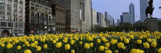 tulip-flowers-in-a-park-with-buildings-in-the-background-grant-park-south-michigan-avenue-chi