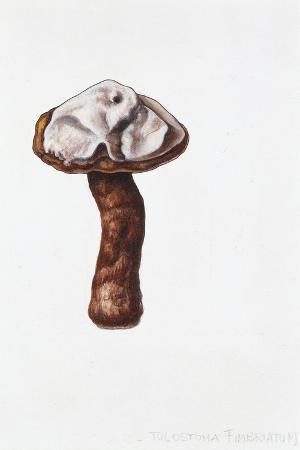 tulostoma-fimbriatum