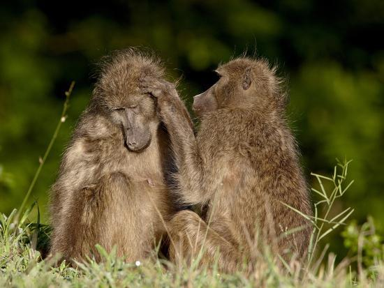 two-chacma-baboons-papio-ursinus-grooming-kruger-national-park-south-africa-africa