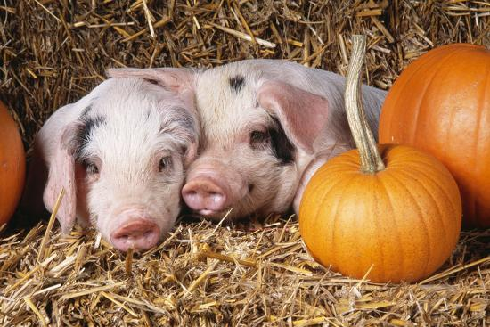 two-gloucester-old-spot-piglets-with-pumpkins