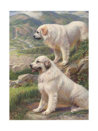 two-great-pyrenees-dogs-guard-a-flock-of-sheep