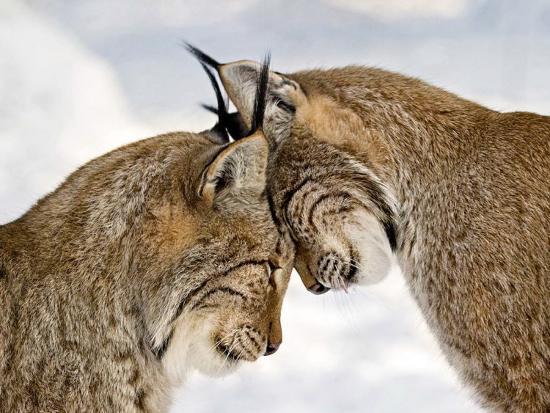 two-lynx