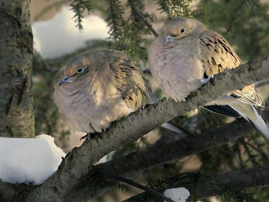 two-mourning-doves-fluff-up-their-feathers-to-stay-warm