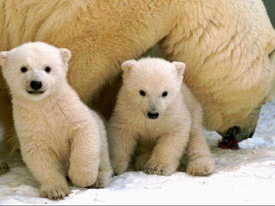 two-polar-bear-cubs-keep-an-eye-on-the-photographer-as-their-mother-licks-the-snow-at-hogle-zoo
