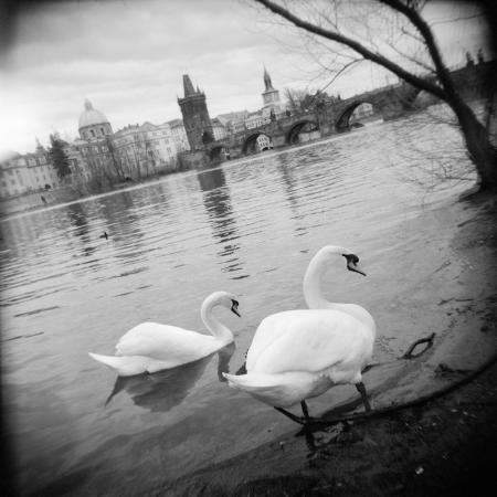 two-swans-in-a-river-vltava-river-prague-czech-republic