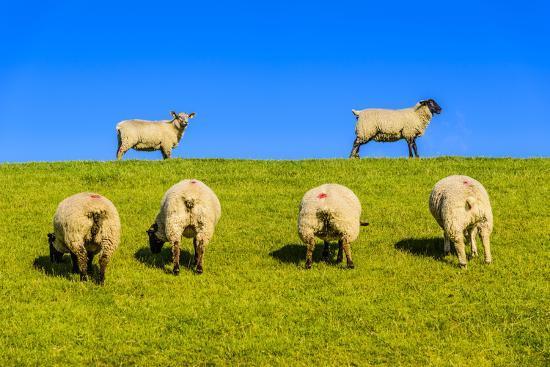 udo-siebig-germany-schleswig-holstein-north-frisia-peninsula-north-beach-pohnshalligkoog-dyke-sheeps