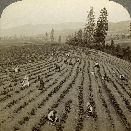 underwood-underwood-strawberry-picking-cedar-creek-farm-hood-river-valley-oregon-usa
