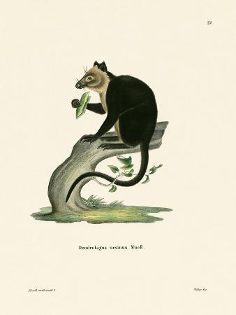 ursine-tree-kangaroo