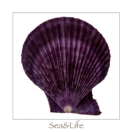 uwe-merkel-maritime-still-life-with-scallop