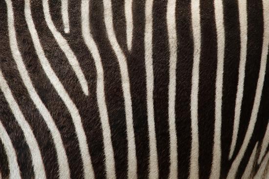 uzuri-zebra