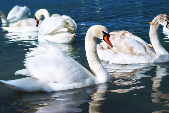vakhrushev-pavel-swans-on-the-lake
