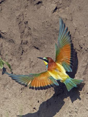 varesvuo-european-bee-eater-merops-apiaster-flying-to-nest-hole-in-bank-pusztaszer-hungary-may-2008