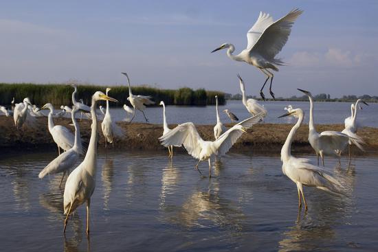varesvuo-flock-of-great-egret-ardea-alba-at-water-pusztaszer-hungary-may-2008