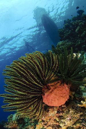 variable-bushy-feather-star-gorontalo-sulawesi-indonesia