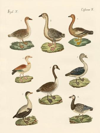 various-kinds-of-geese