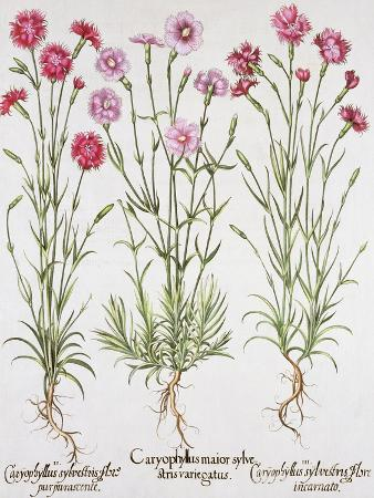 various-varieties-of-dianthus-from-the-hortus-eystettensis-by-basil-besler