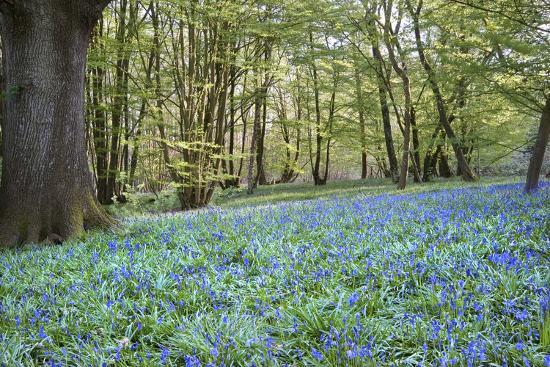 veneratio-bright-fresh-colorful-spring-bluebell-wood