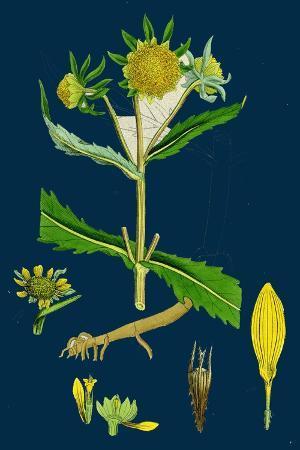 verbascum-thapso-nigrum-hybrid-between-great-and-dark-mulleins