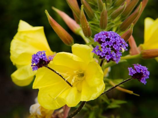 verbena-bonariensis-and-evening-primrose-ireland