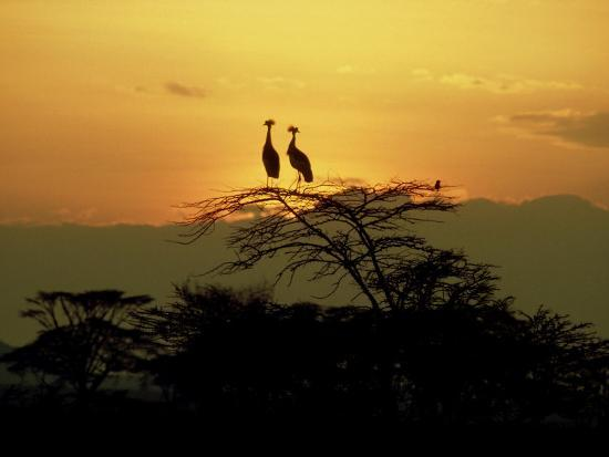 victoria-stone-mark-deeble-crowned-cranes-2-on-tree-at-sunset-tanzania