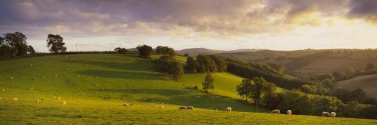 view-of-sheep-grazing-in-a-field-bickleigh-mid-devon-devon-england