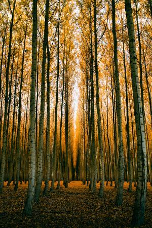 vincent-james-tree-world-in-autumn-mood-and-repitition-northern-oregon